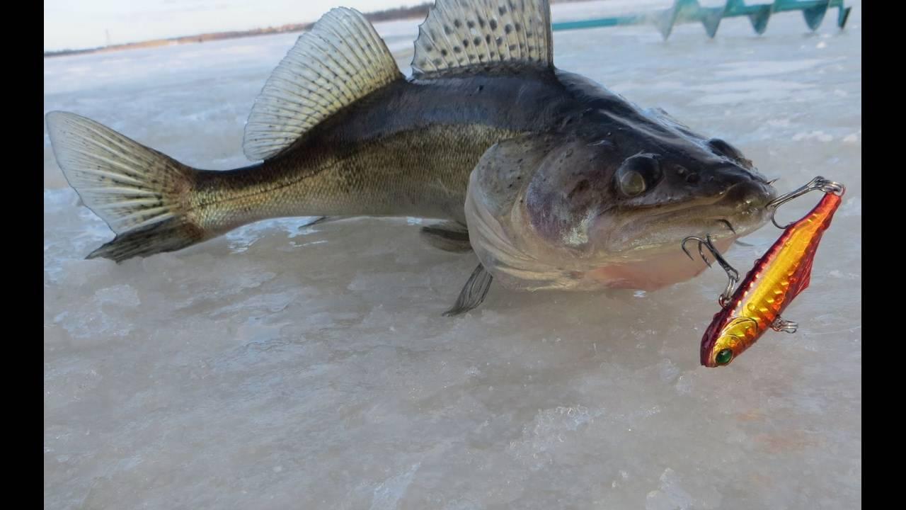 Ловля судака весной на спиннинг с берега