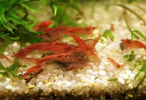 Креветка вишня - черри: содержание, совместимость, размножение, фото-видео ,описание. | аквариумные рыбки