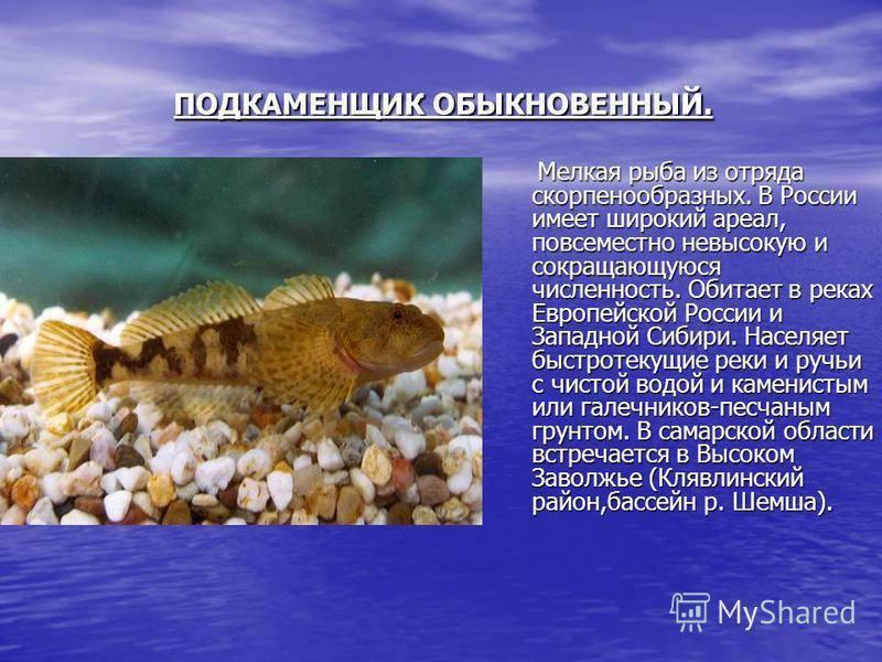 Подкаменщик обыкновенный: описание и фото рыбы, среда обитания, красная книга
