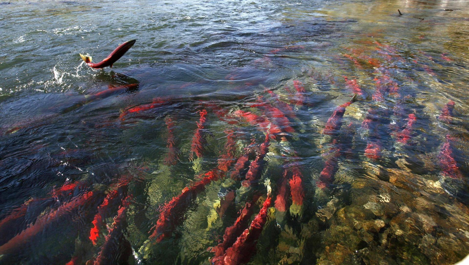 Нерест форели время года — ловись рыбка