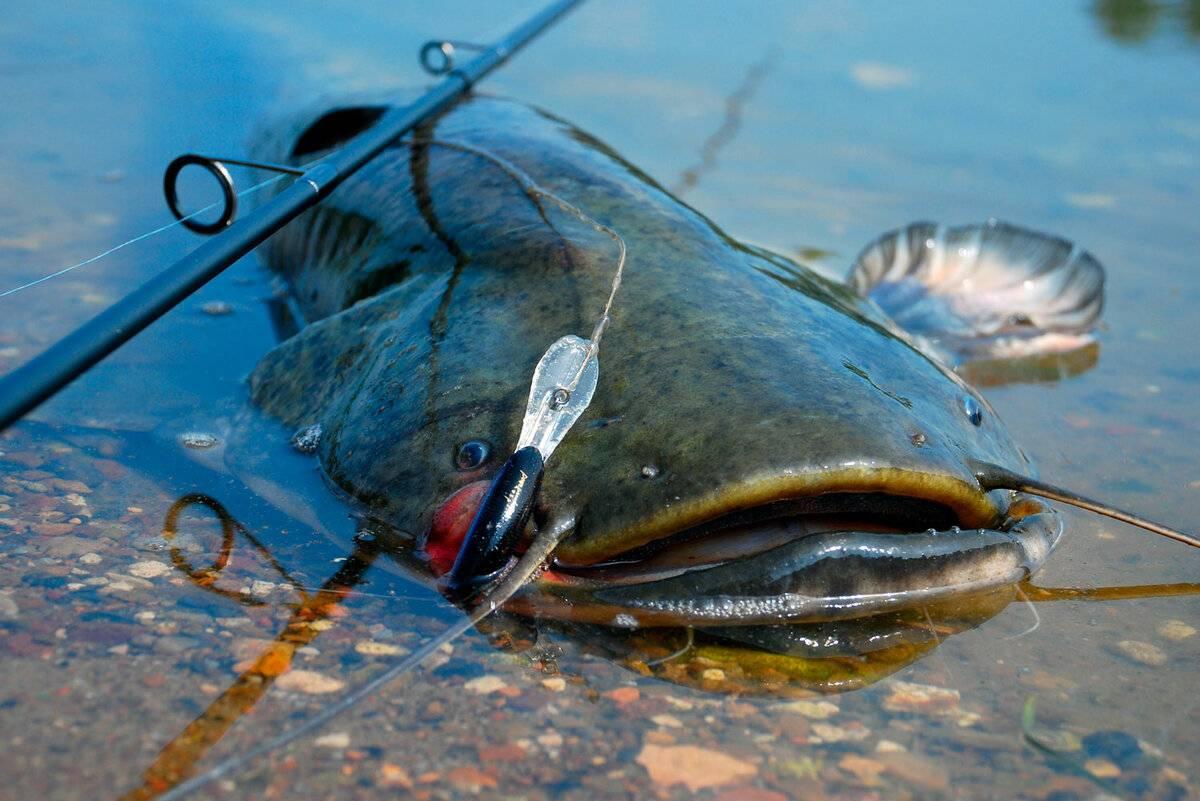Ловля сома: обзор всех снастей, приманок и способов рыбалки