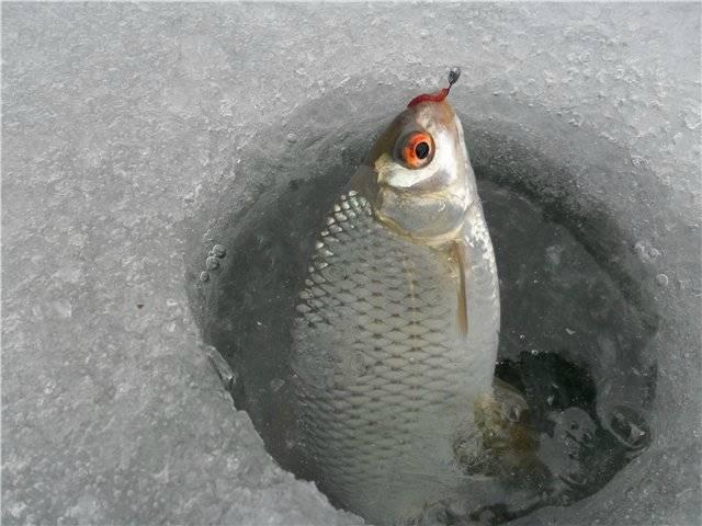 Ловля плотвы зимой на поплавочную удочку, на мормышку, советы