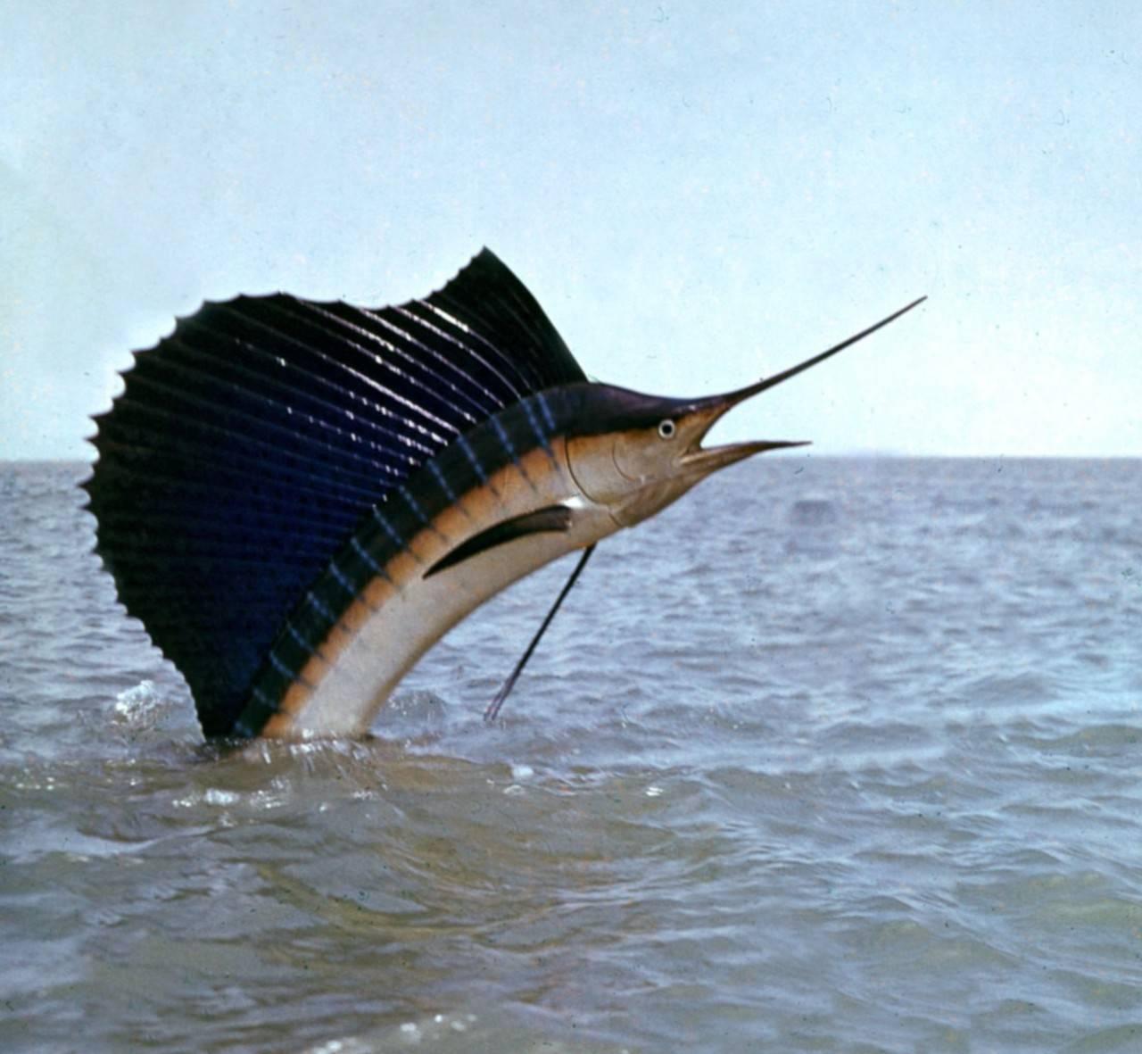 Самые быстрые рыбы в мире — названия, рейтинг с фото и видео