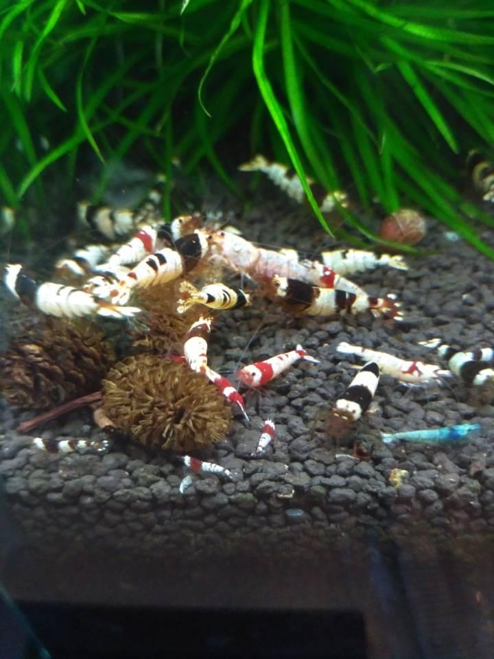 Аквариумные креветки: виды и размеры, содержание, уход и размножение