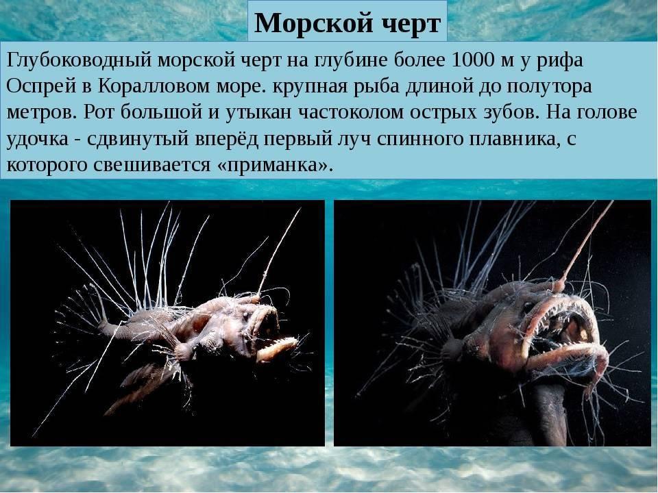 Рыба фонарь или рыба морской черт: описание и характеристика европейского удильщика