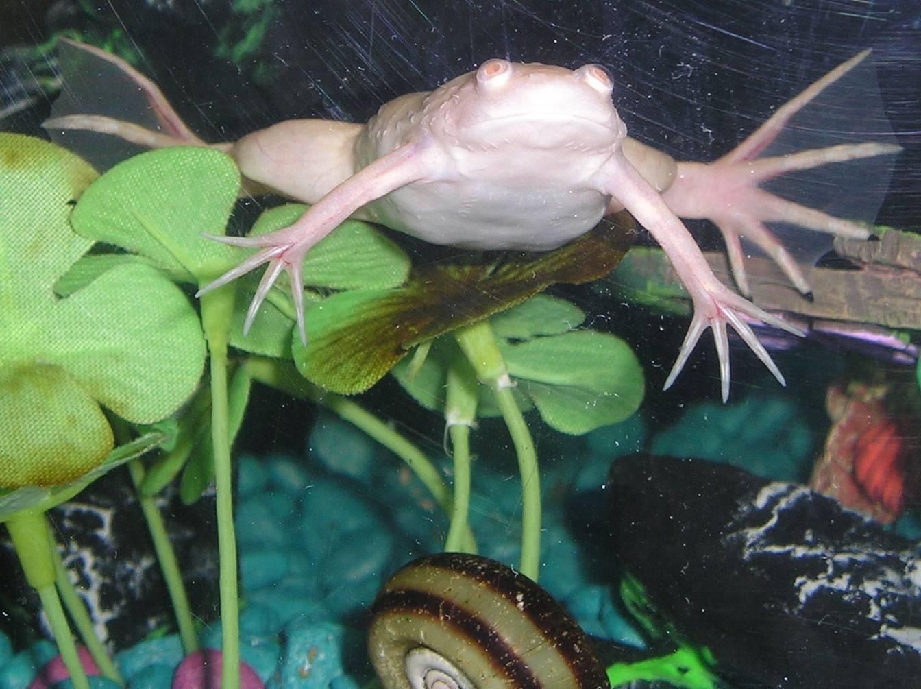 Лягушка гименохирус в аквариуме - описание,размножение,содержание,фото,видео | аквариумные рыбки