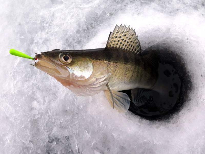 Ловля судака зимой на мормышку. ловля судака. судак: sander sandra l = судак.— lucioperca sandra l. , рыба наших водоемов, содержание, разведение, поведение, питание, корм, темпереатура воды