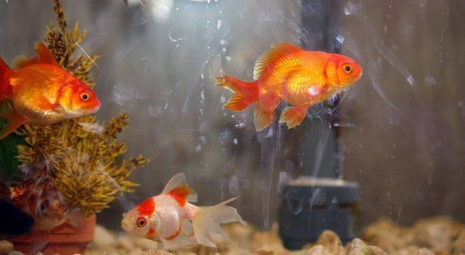 Виды кормов для золотых рыбок и правила их кормления