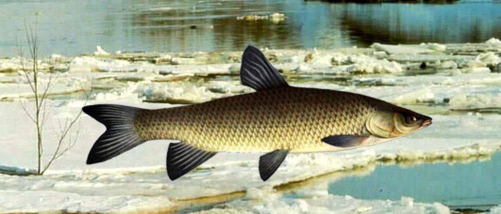 Белый амур: фото рыбы, польза и вред для здоровья, вкусовые качества