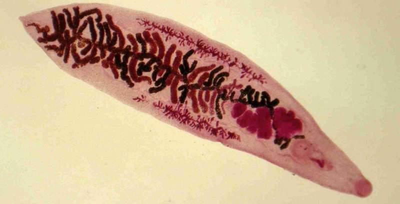 Как выглядят глисты в рыбе?