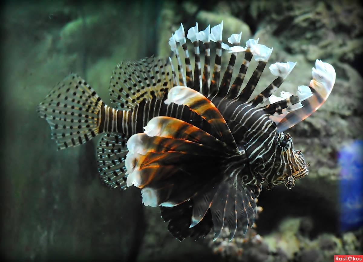 Рыба лев или крылатка: отравленные ядом лучи плавников