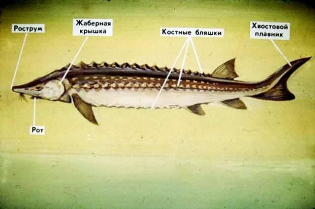 Уникальная рыба белуга