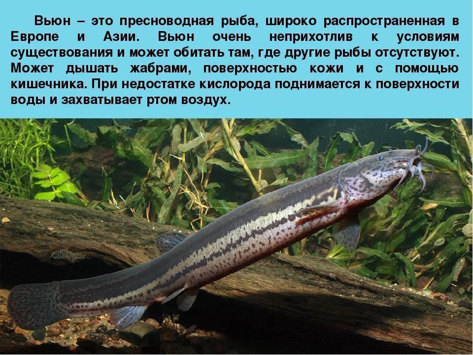 Рыбка пискун (вьюнок): описание, места обитания и размножение