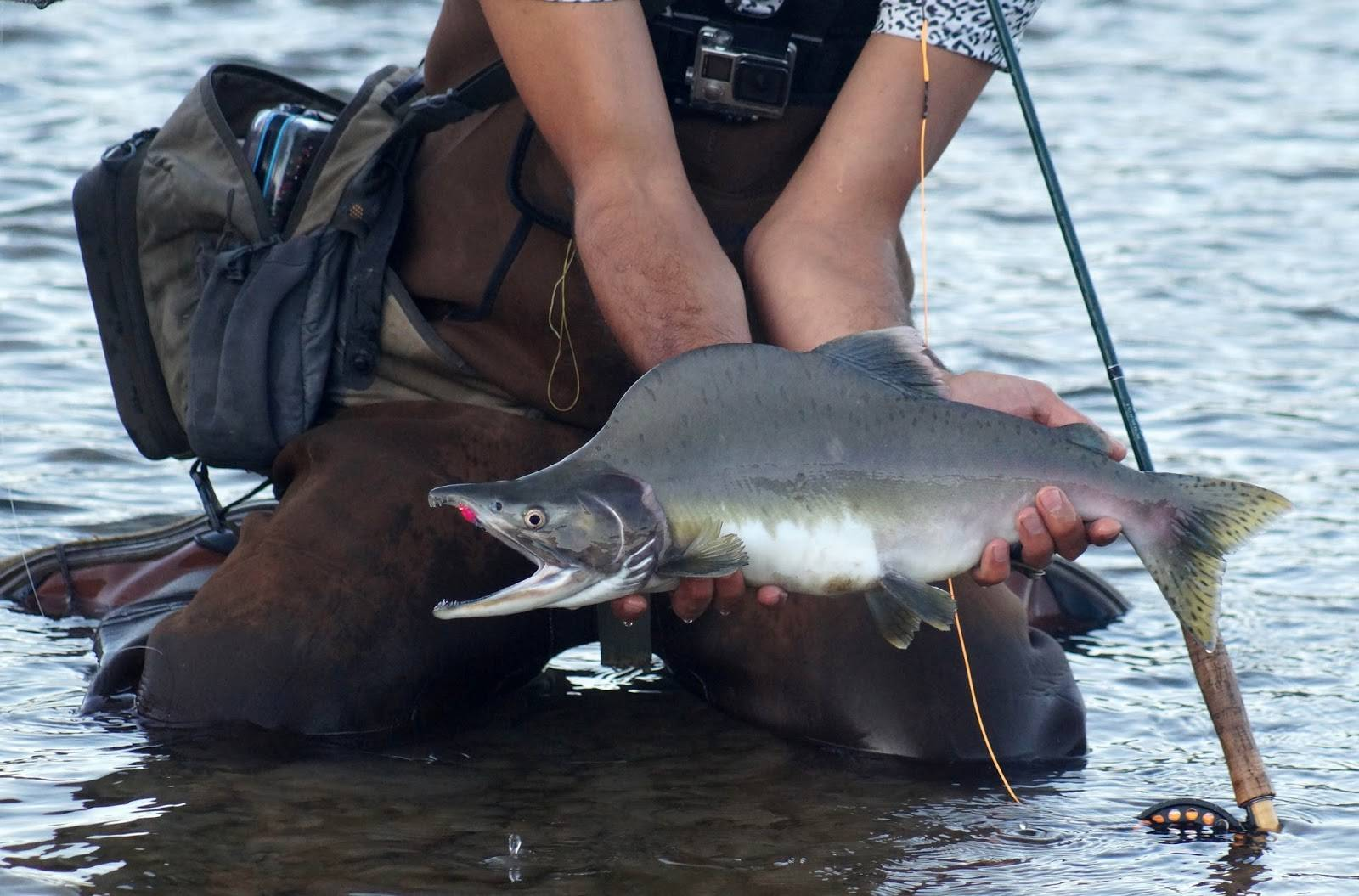 ✅ ловля горбуши — особенности рыбалки - рыбзон.рф