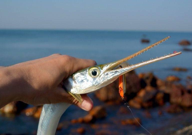 Рыба сарган польза. рыба сарган: рецепты, полезные свойства, фото. естественная среда обитания саргана