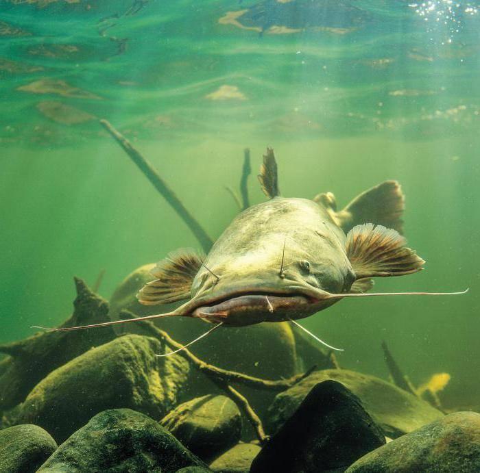 Доктор скрасными глазами. зачем линя разыскивают другие рыбы. новости общества