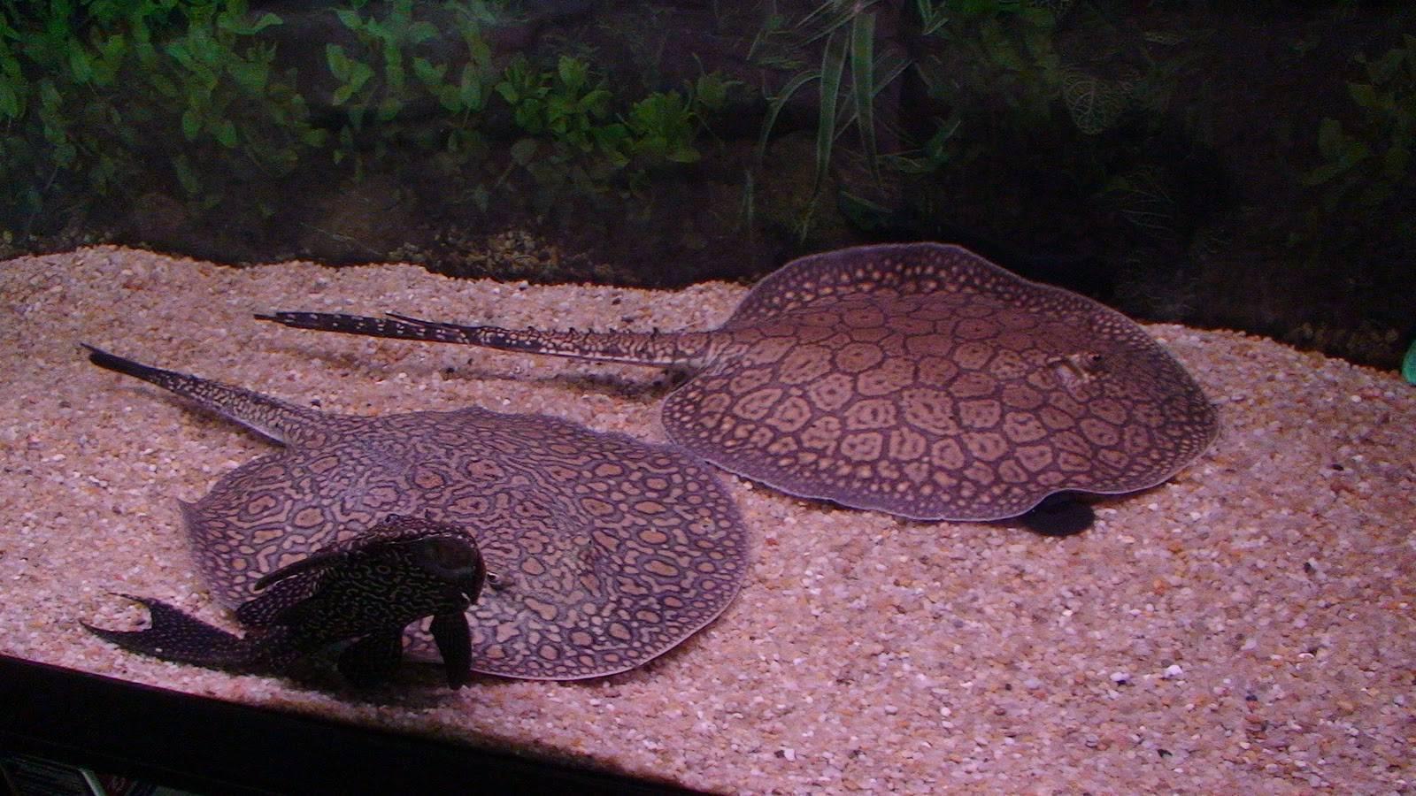 Аквариумный скат (15 фото): описание ската моторо и содержание пресноводных скатов в аквариуме