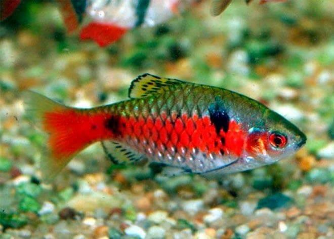 Пиранья в аквариуме: содержание, совместимость, видео ,фото,описание
