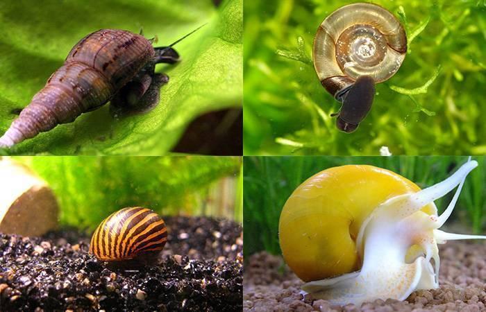 Улитка катушка: особенности содержания санитаров аквариума