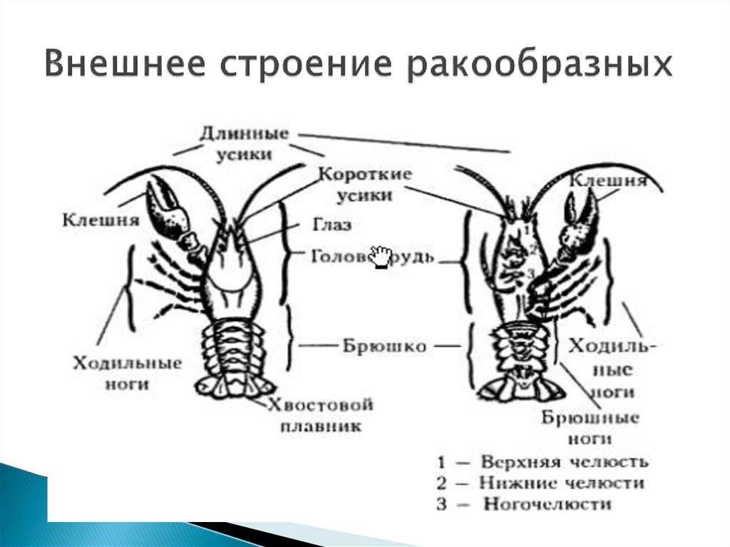 Ракообразные – представители класса, общая характеристика, системы органов (биология, 7 класс)
