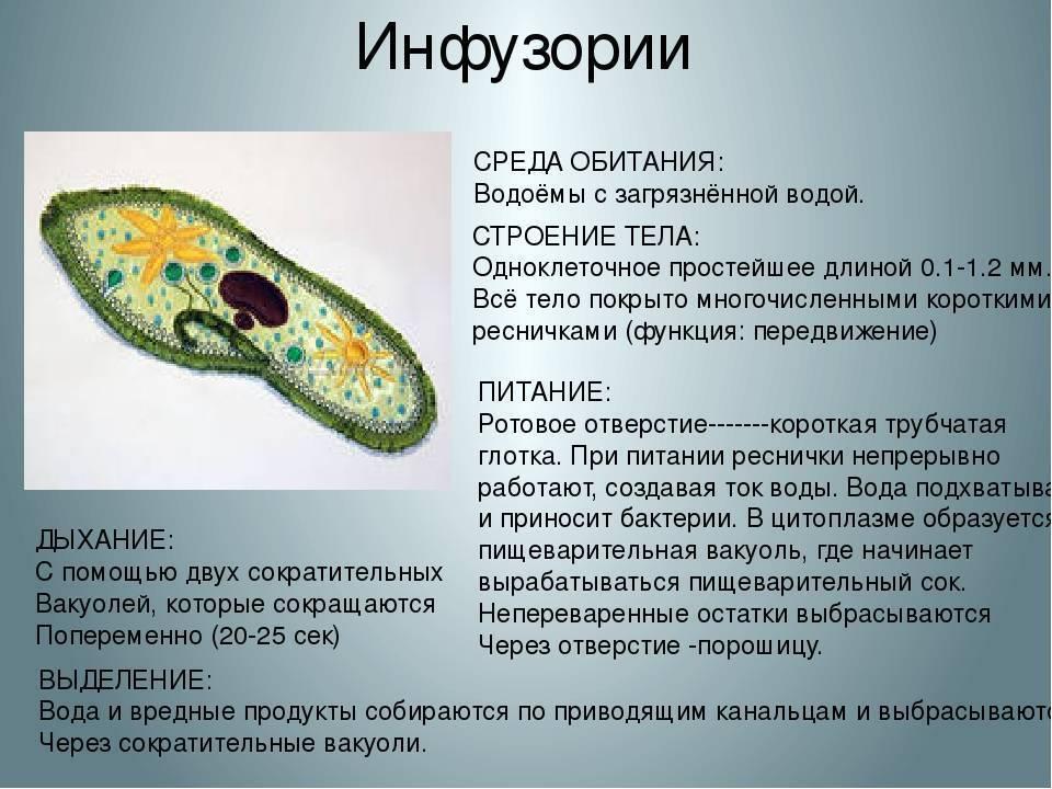 Амеба обыкновенная: просто и понятно - строение, питание, размножение, фото, видео