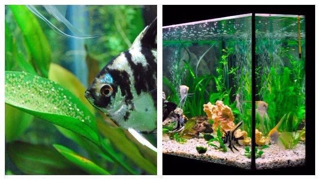 Какие рыбы уживаются с гуппи?