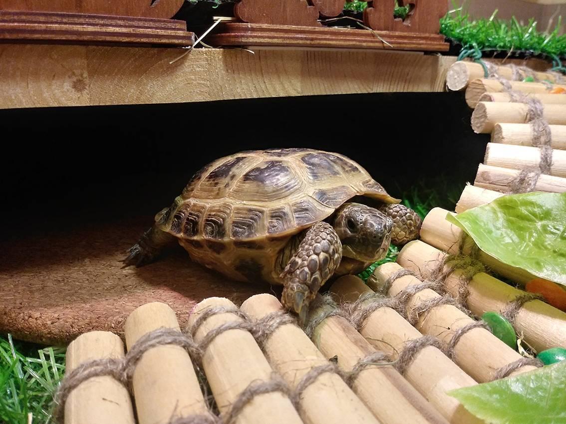 Болотная черепаха уход в домашних условиях советы от питомца
