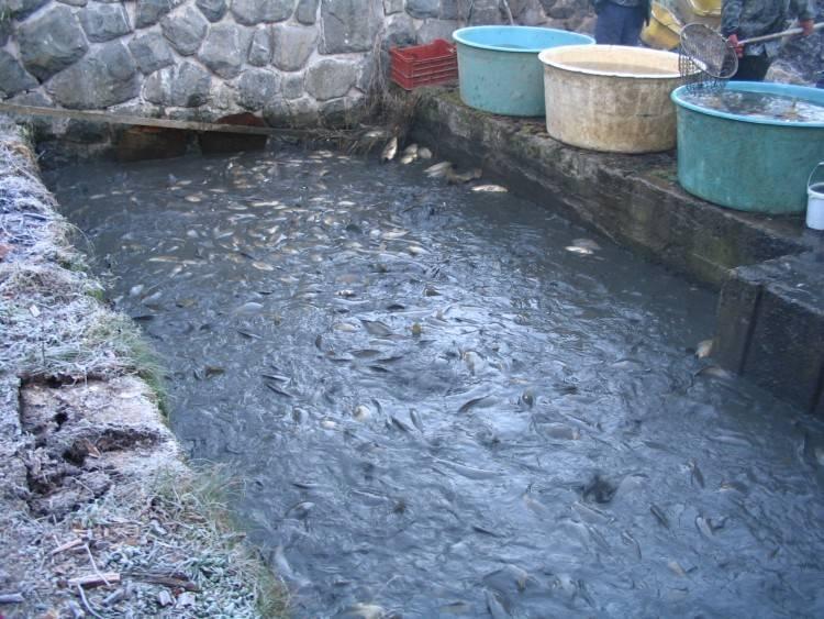 Улов научастке. как правильно запустить рыбу всвой пруд