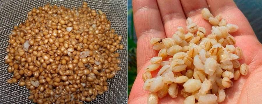Рыбалка с помощью пшеницы: как приготовлять и запаривать зерновые для ловли