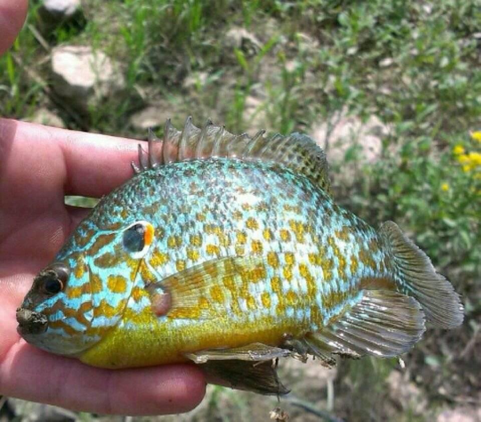 Калифорнийский солнечный окунь — описание вида, содержание радужной рыбы в аквариуме, можно ли есть