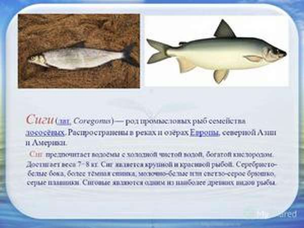 Сиг | фото, виды рыб, ареал обитания, образ жизни и способ ловли