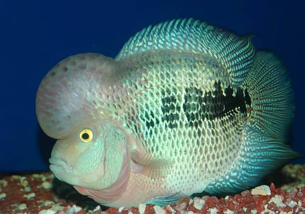 Фловер хорн (аквариумная рыбка цихлазома): содержание, уход, размножение, совместимость, кормление, фото, описание
