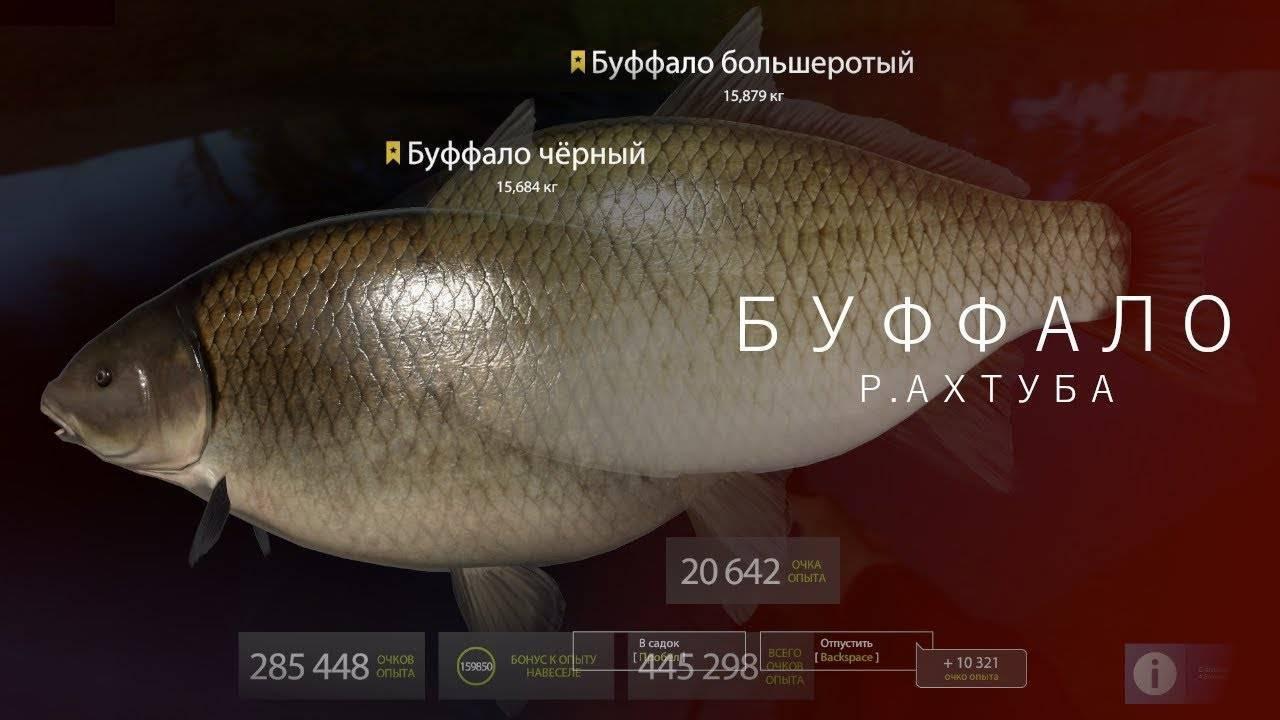 Рыба буффало в астрахани