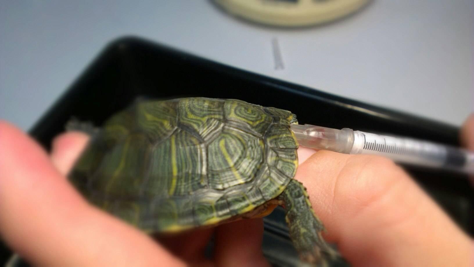 Необычные домашние питомцы: красноухие черепахи. сколько могут без воды данные животные?