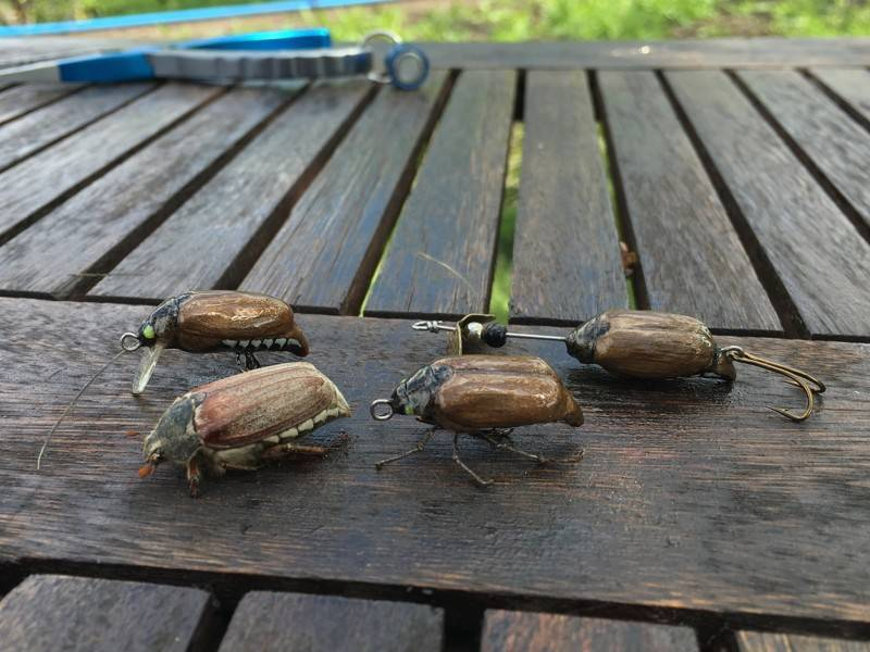 Личинки майского жука: как с ними бороться? 7 лучших методов