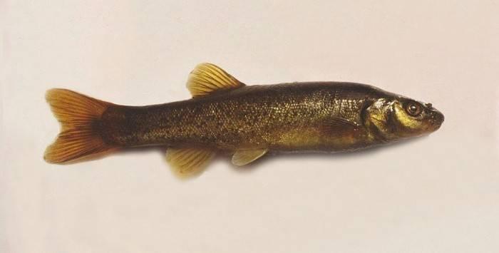Рыба гольян обыкновенный, озерный – википедия