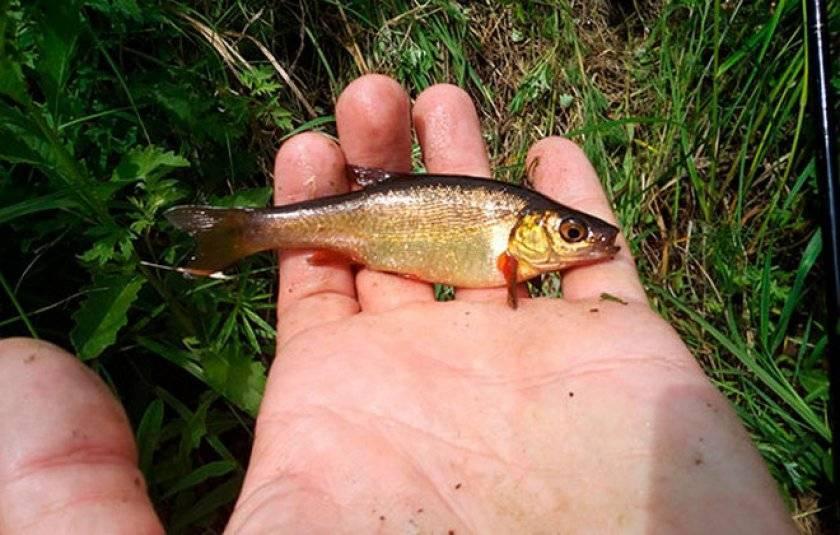 Гольян обыкновенный - рыбалка