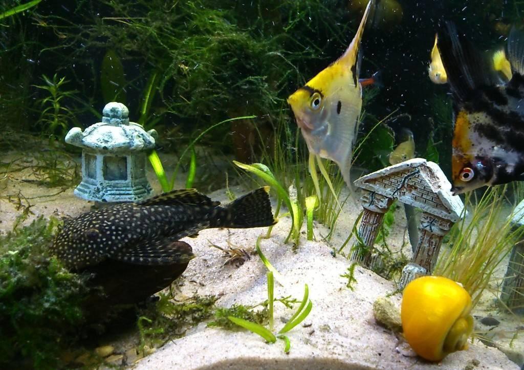 Совместимость скалярий с другими рыбами