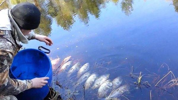 Разведение карася в пруду на даче: чем кормить в домашних условиях, как развести и содержать в водоёме, как размножаются рыбы, можно ли давать пшеницу