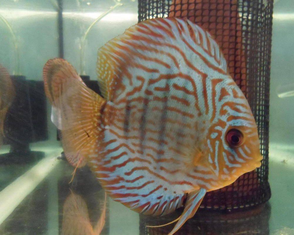 Радужная цихлазома: фото рыбки, содержание, разведение, совместимость, видео радужная цихлазома: фото рыбки, содержание, разведение, совместимость, видео