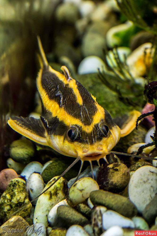 Аквариумная рыбка сом платидорас полосатый