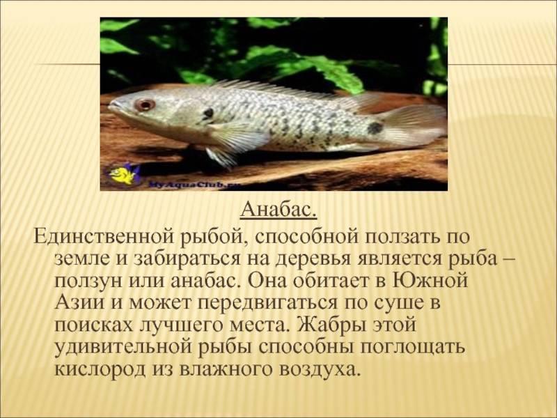 Аквариумная рыбка анабас, anabas testudineus