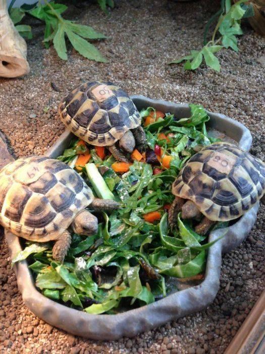 Как выбрать черепаху для дома? какую лучше черепаху выбрать? практические рекомендации1 min read. всё, что нужно знать о уходе за черепахой в домашних условиях
