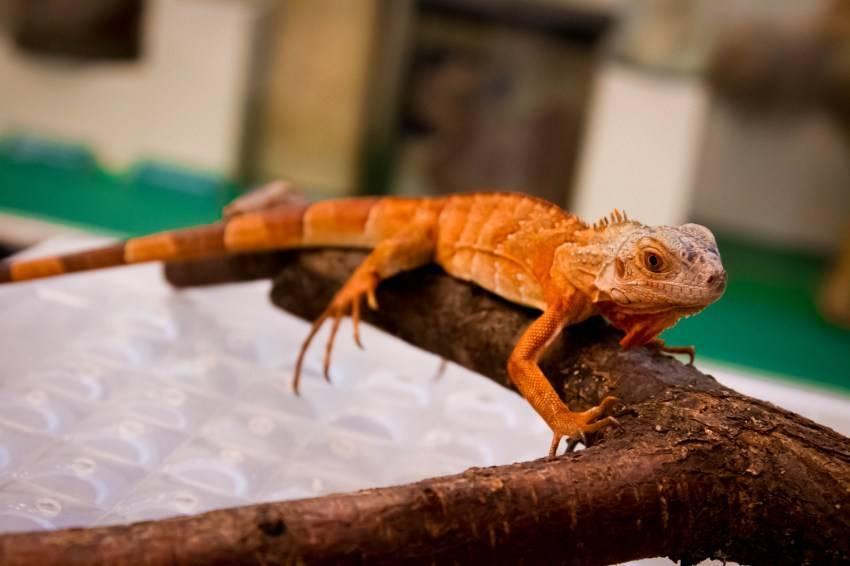 Популярная замена классическим домашним питомцам: основные виды ящериц, их названия, особенности и фото