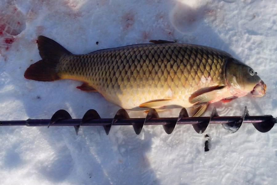 Ловля сазана на реке: какую снасть и прикормку использовать