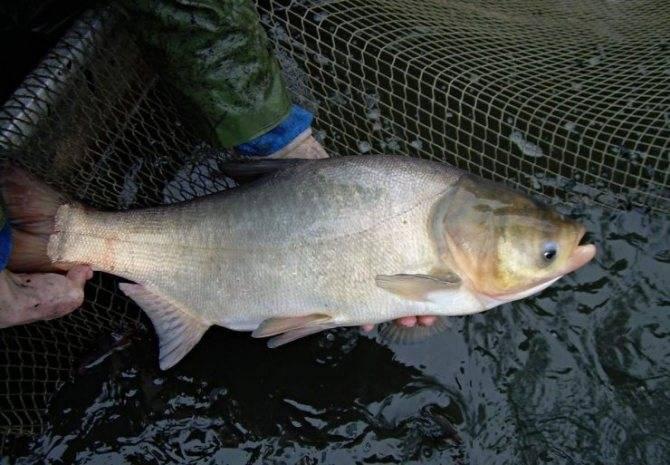 Что за рыба толстолобик: польза и вред, количество калорий в 100 г жареного, копченого, вяленого продукта