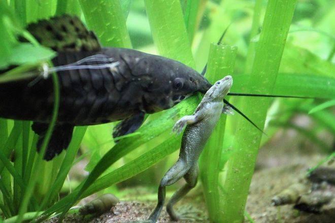 Лягушка гименохирус в аквариуме — описание,размножение,содержание,фото,видео
