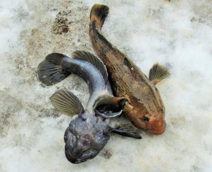 Снасть для ловли бычка в азовском море – все о рыбалке