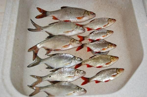 Рыба-камень или бородавчатка
