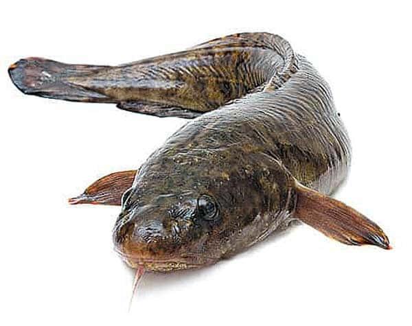 Рыба ? налим. чем питается налим, где водится ? и к какому семейству относится